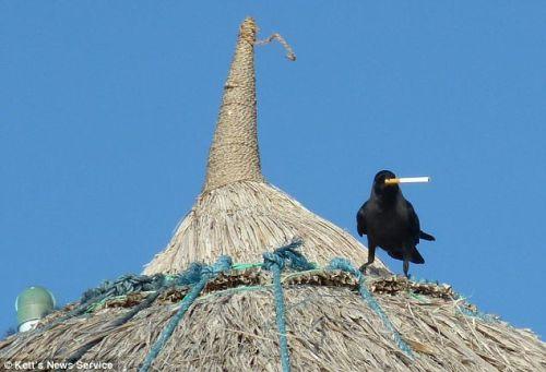 烏鴉也會休息「抽」根菸