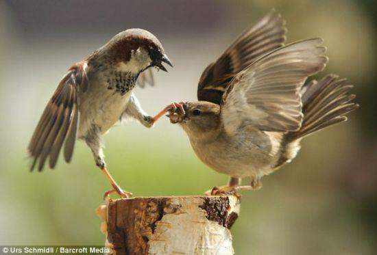 受過了鄰居聒噪 雄麻雀用爪子「捂」住對方的嘴