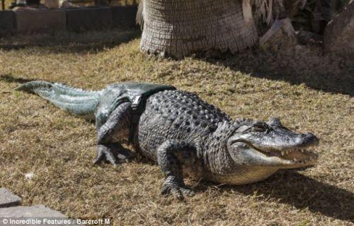 全球第一隻裝義肢尾巴的鱷魚