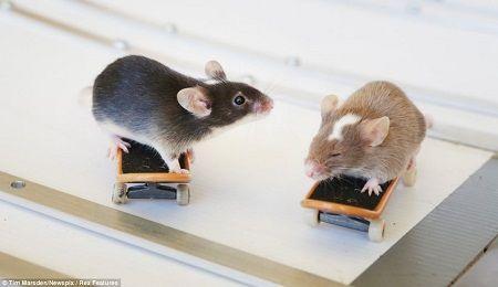 澳洲男子教老鼠溜滑板並穿越火圈