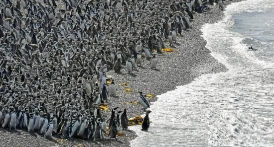 阿根廷陶尔岛Tower Island海滩百万企鹅,场面壮观创纪录